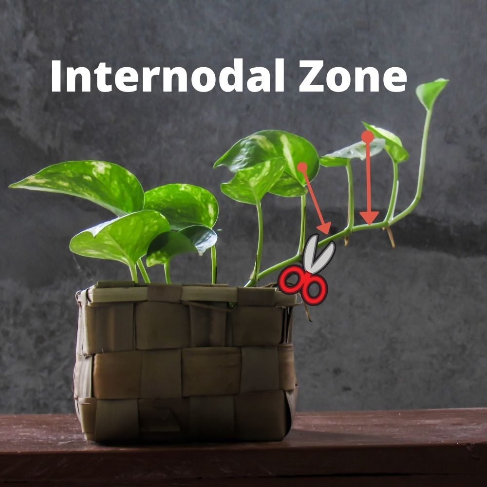 Cut your start in the internodal zone