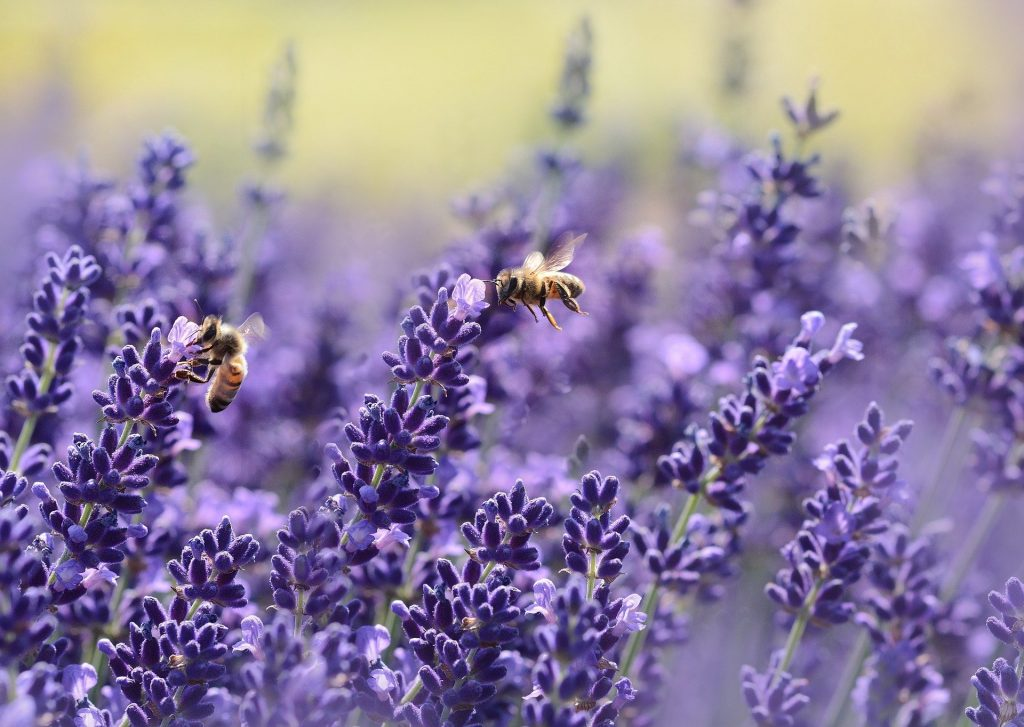 Bees pollinating the Lavender flowers