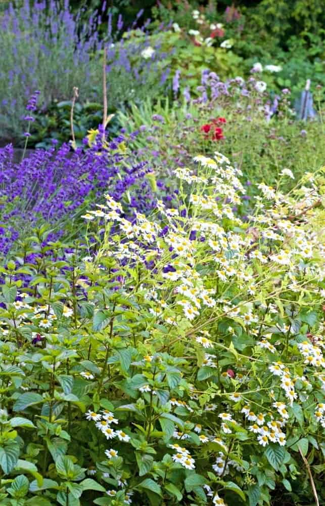 Pollinator gardens like this have a variety of herbs and flowers