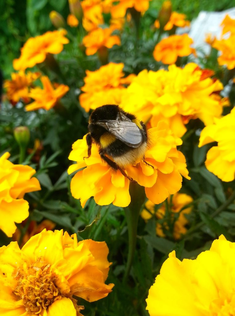 Bumble Bee in the Marigold Flowers