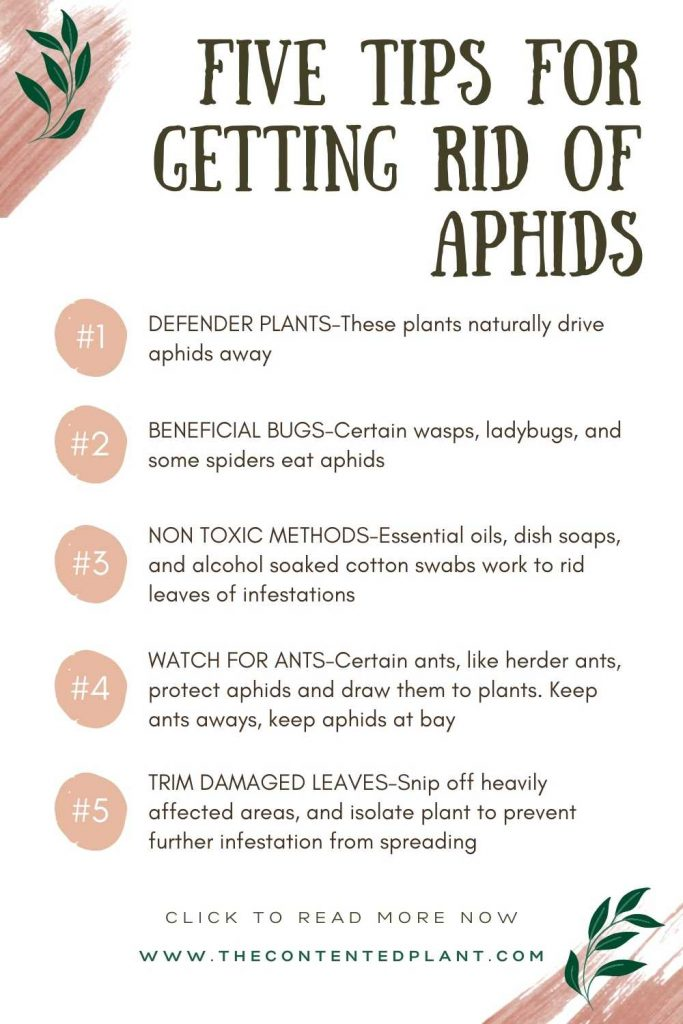 Five tips for getting rid of aphids-info pin image