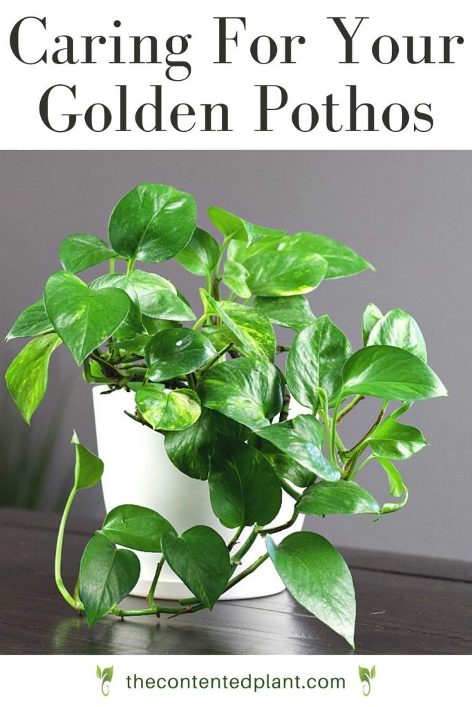 Caring for your golden Pothos