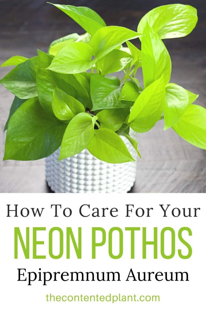 How To care for your neon pothos