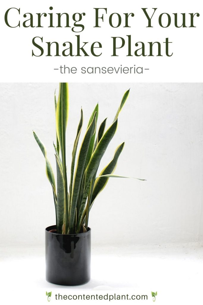 Caring for your snake plant the sansevieria-pin image