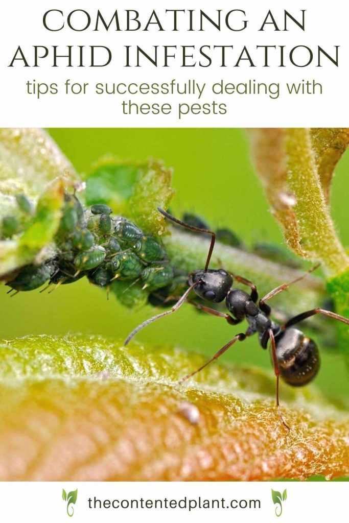 combating an aphid infestation