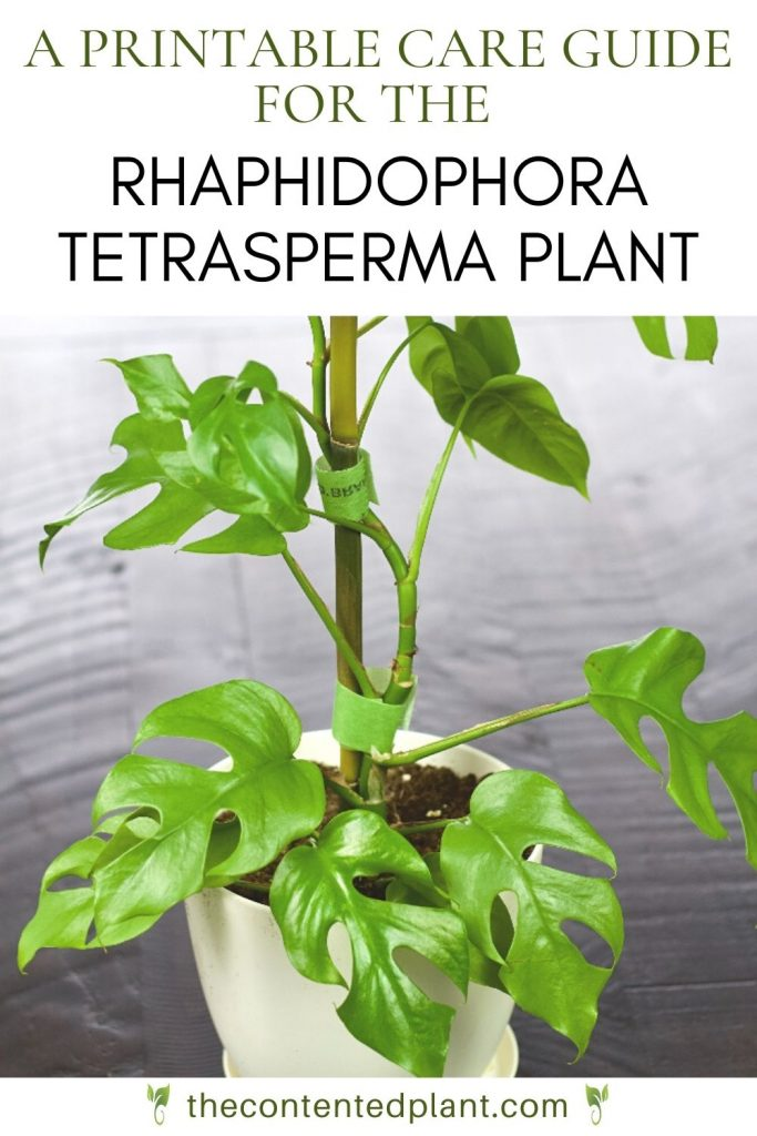 A printable care guide for the Rhaphidophora tetrasperma plant-pin image