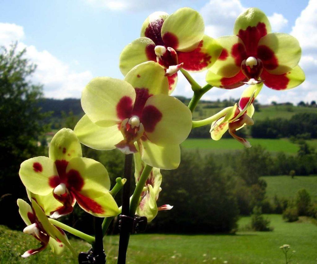 yellow and red moth orchid
