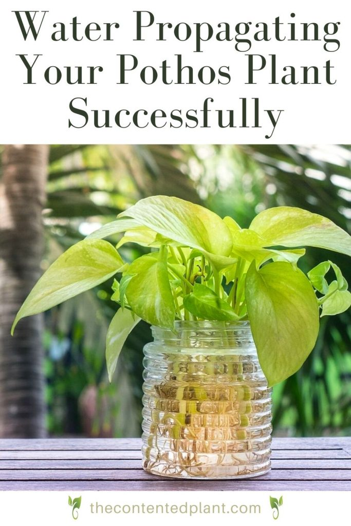 Water propagating your pothos plant successfully-pin image