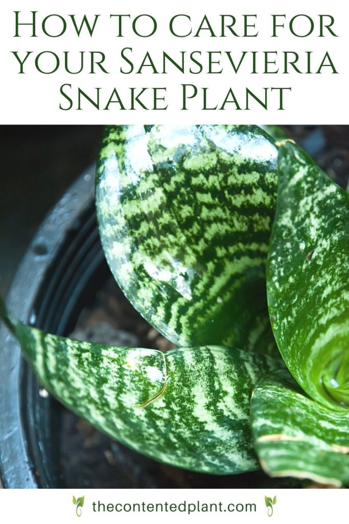 How to care for your sansevieria snake plant-pin image