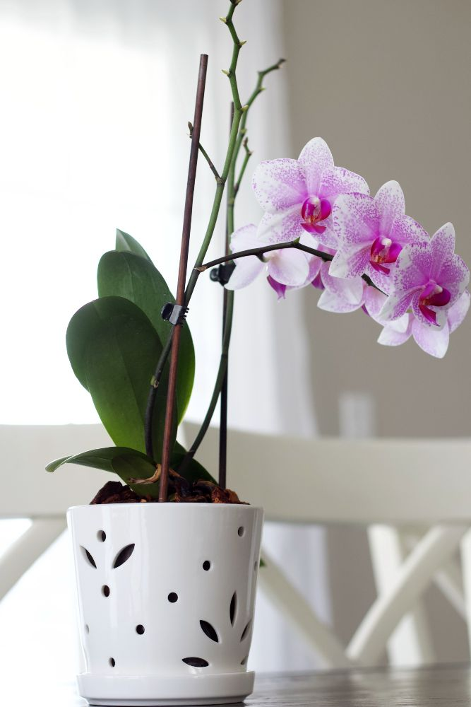 moth orchid in orchid pot