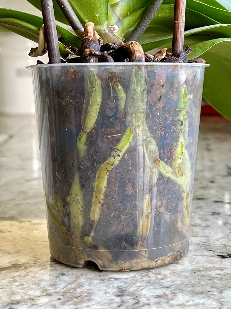 orchid root rot is seen as black or dark green mushy roots.
