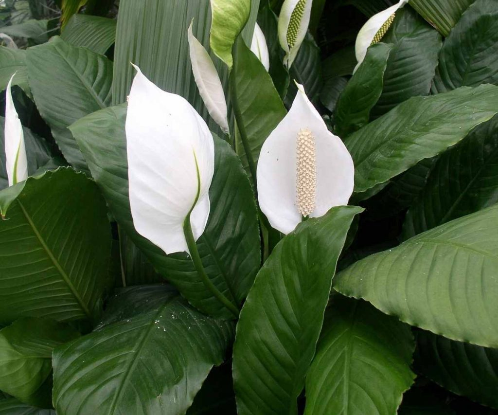 peace lily-flowering