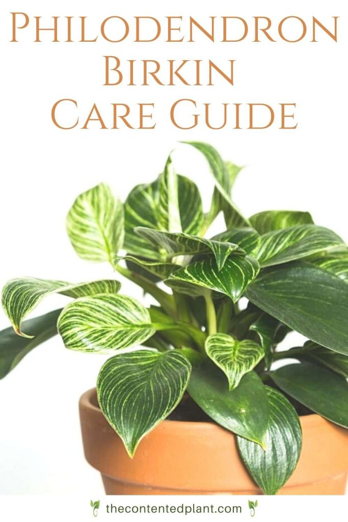 philodendron birkin printable care guide
