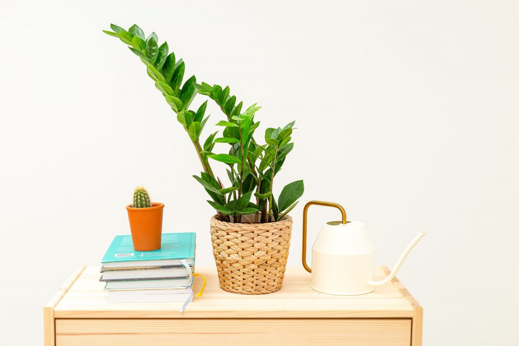 ZZ plant on desk with watering can