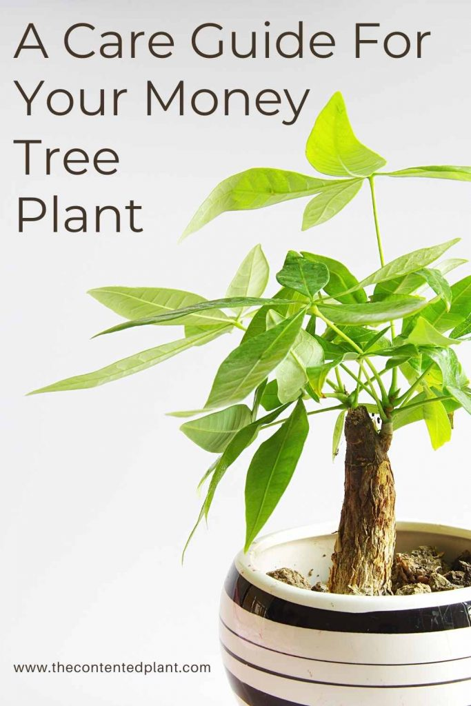 A care guide for your money tree plant-pin image