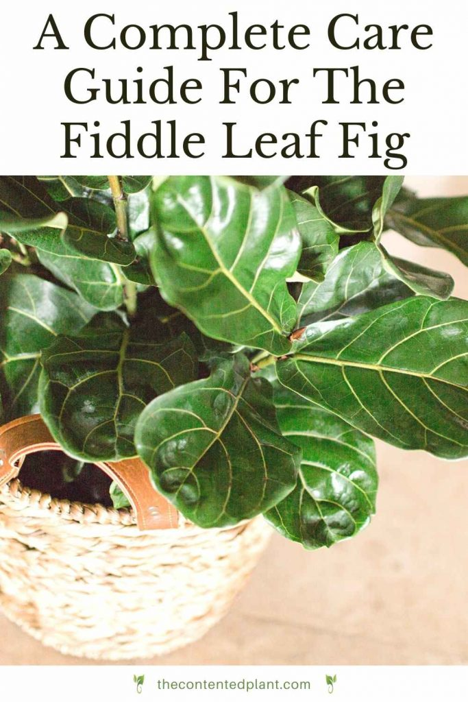 A complete care guide for the fiddle leaf fig-pin image