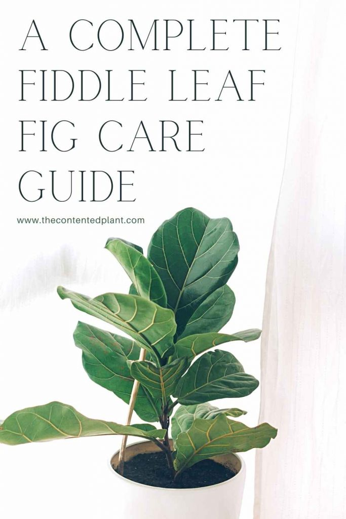 A complete fiddle leaf fig care guide-pin image