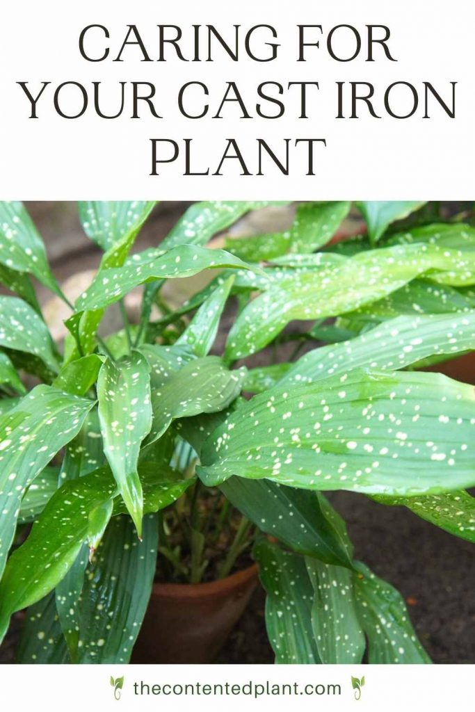 Caring for your cast iron plant-pin image