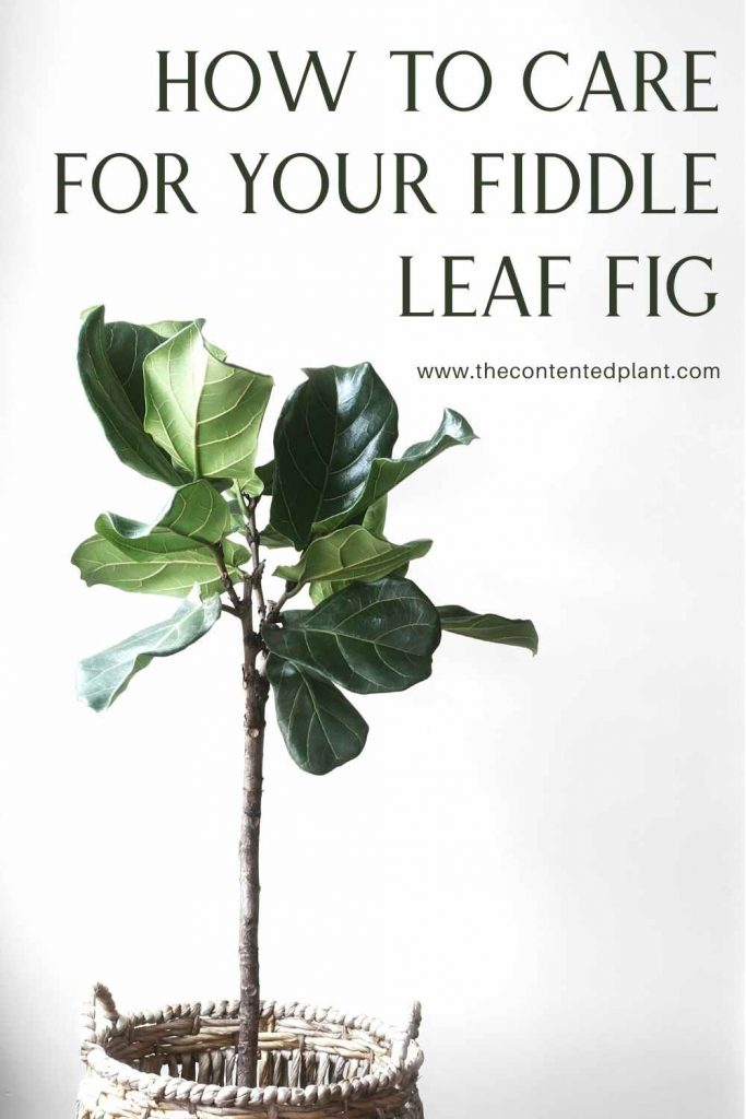 How to care for your fiddle leaf fig-pin image