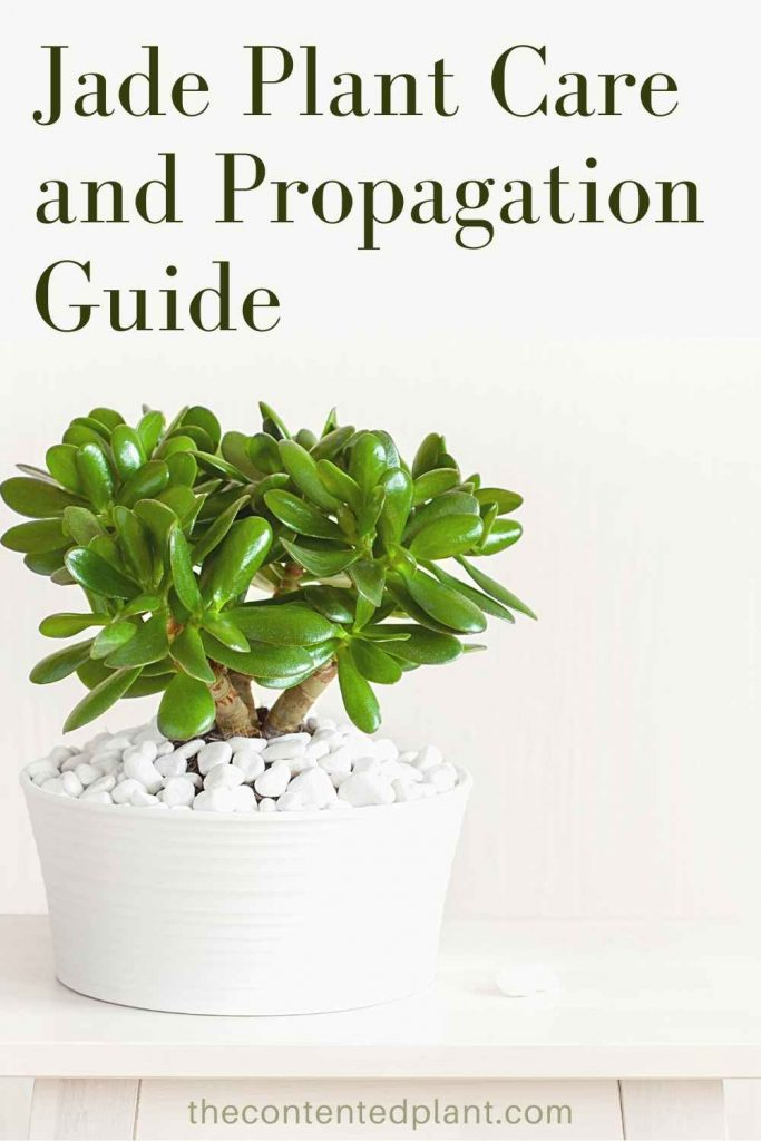 Jade plant care and propagation guide-pin image