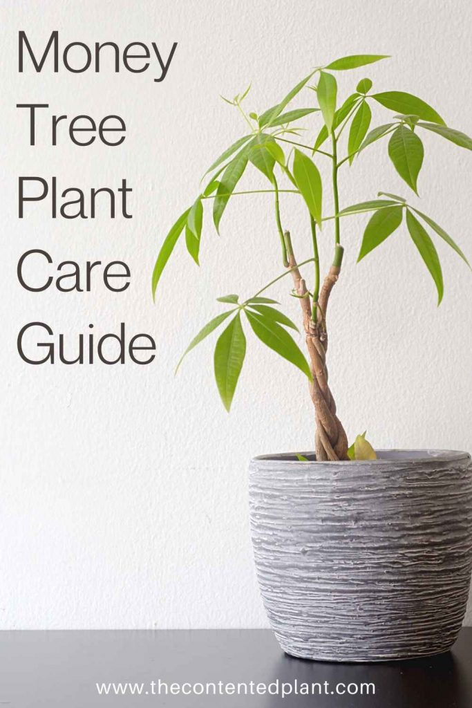 Money tree plant care guide-pin image