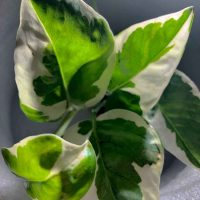 Epipremnum Aureum Pothos N Joy close up