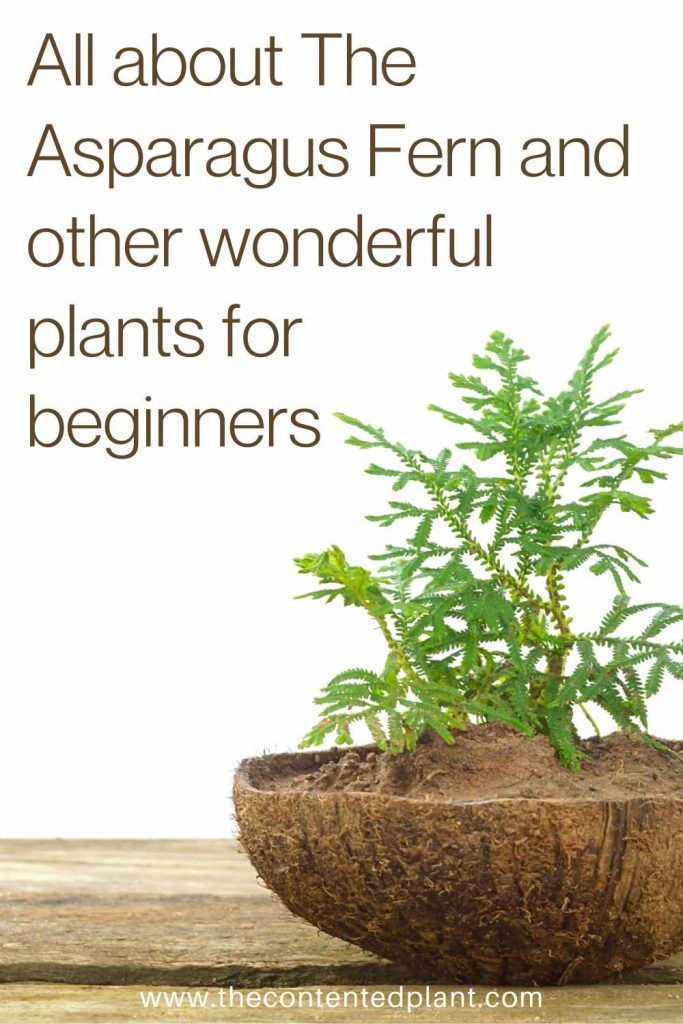 All about the asparagus fern and other wonderful plants for beginners-pin image