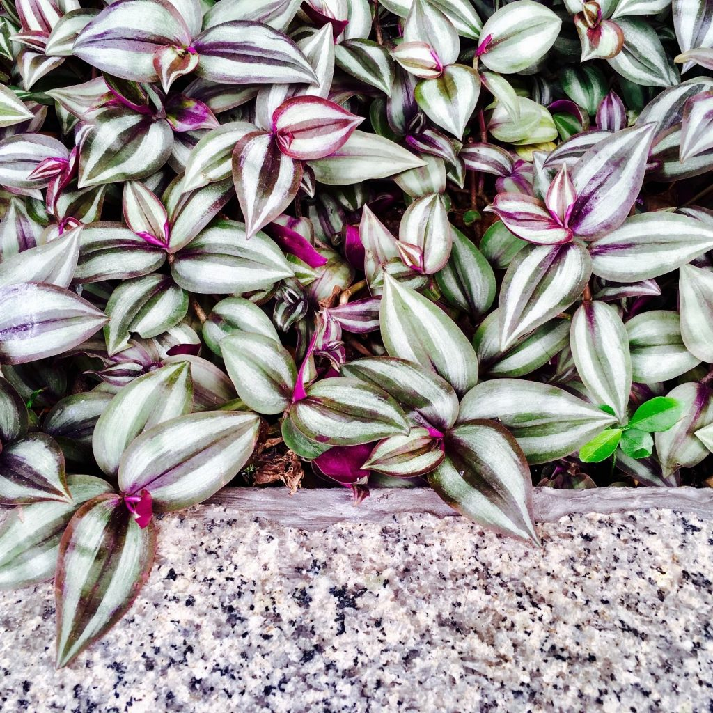 Wandering jew plant care guide