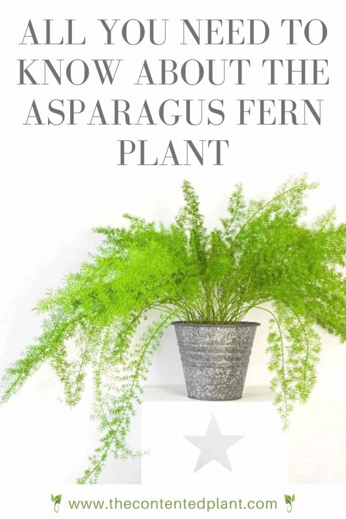 All you need to know about the asparagus fern plant-pin image