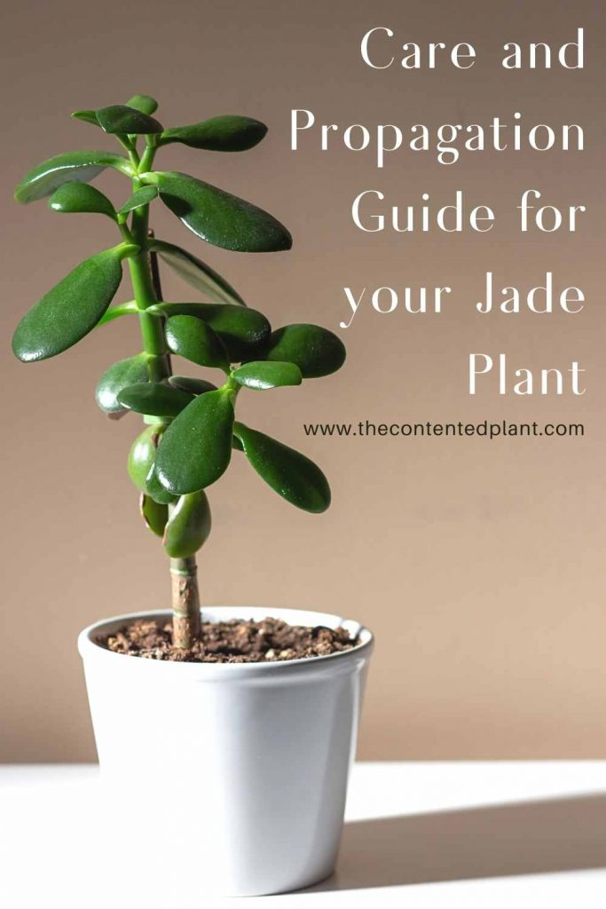 Care and propagation guide for your jade plant-pin image