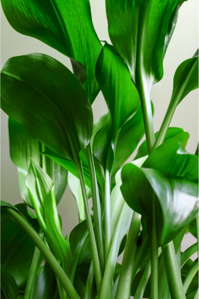 Cast Iron plant leaves and stem