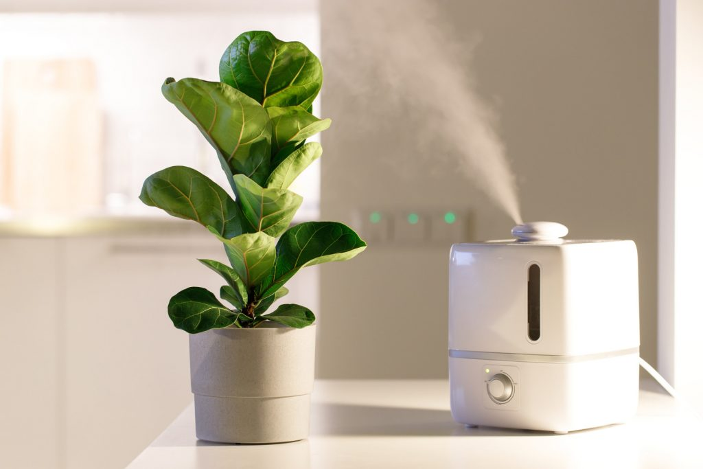Fiddle leaf with humidifier