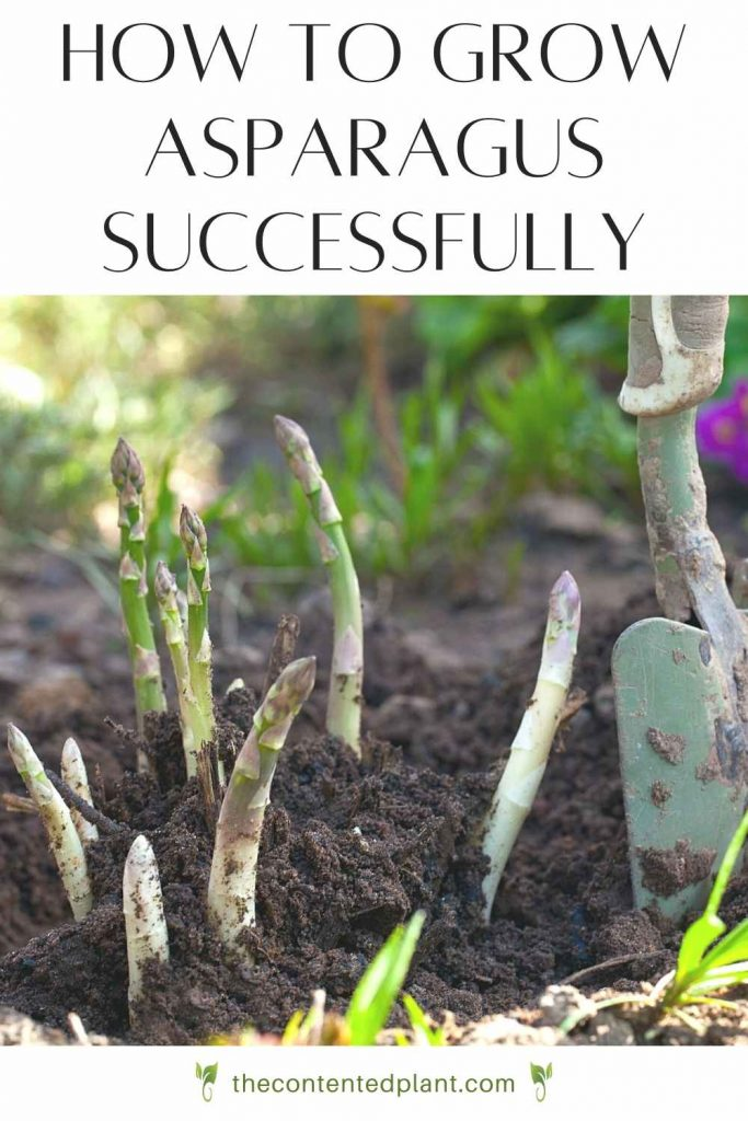 How to grow asparagus successfully-pin image