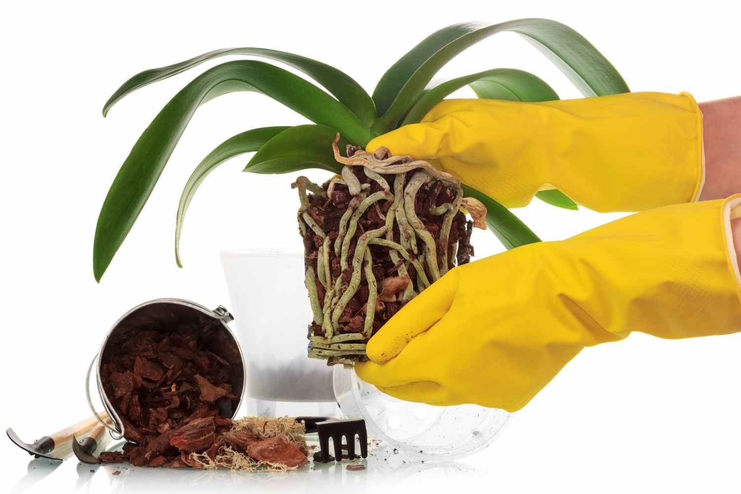 unpotted orchid