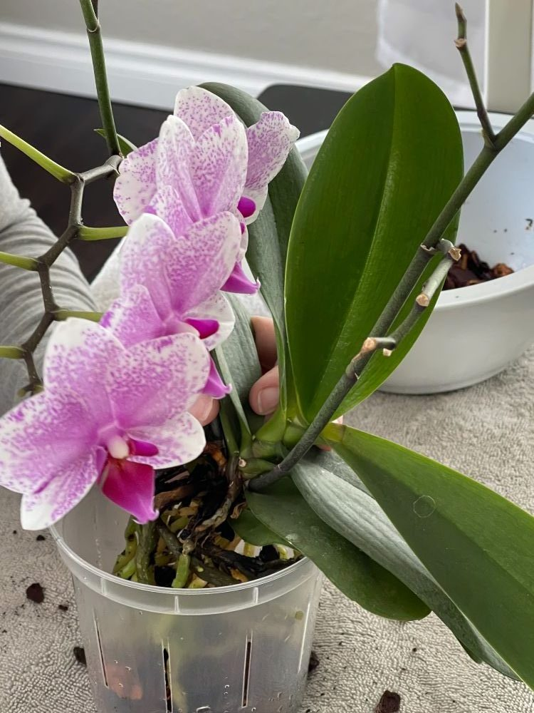 placing orchid in new pot