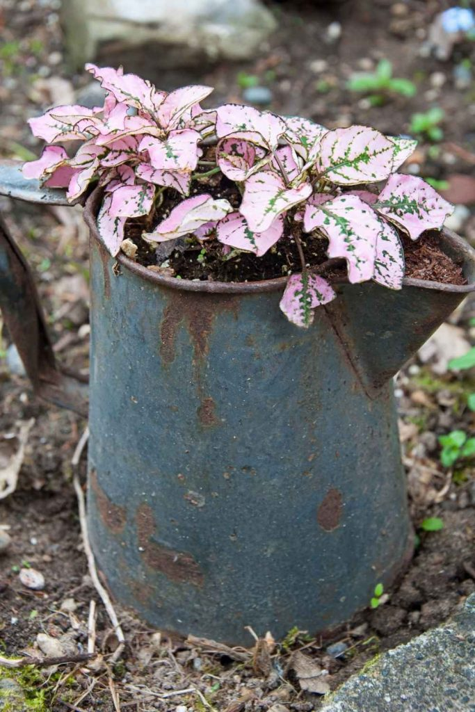 pink polka dot plant in old metal pitcher-outdoor flower bed