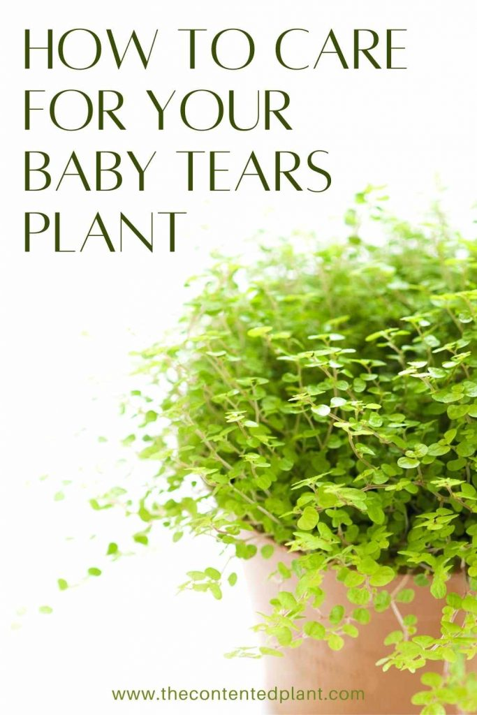 How to care for your baby tears plant-pin image
