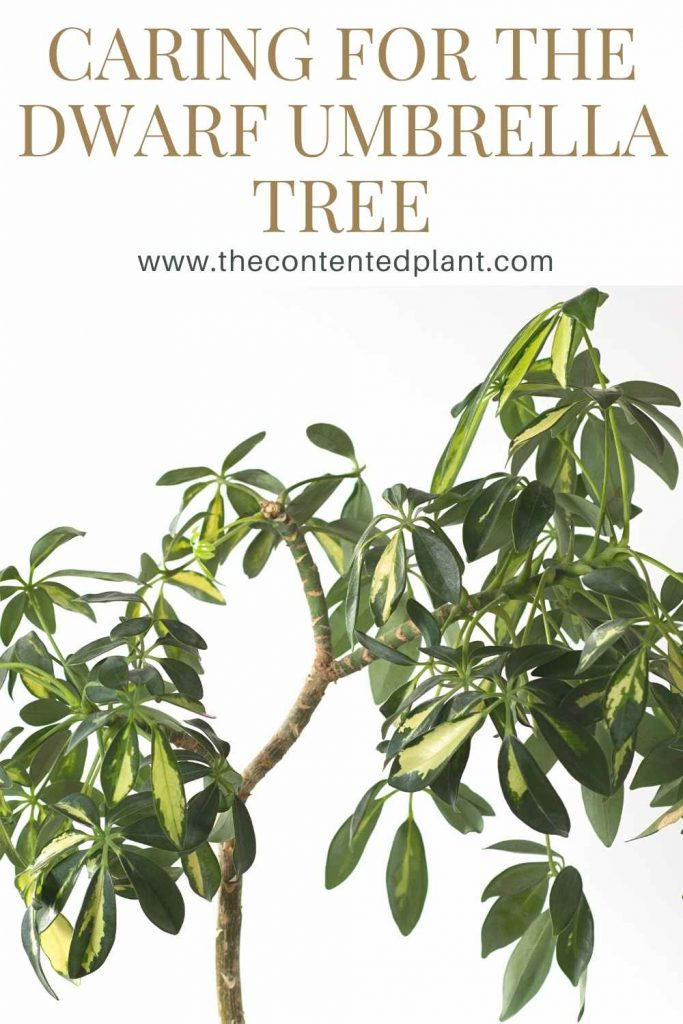 Caring for the dwarf umbrella tree-pin image