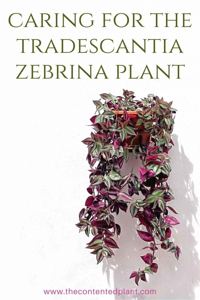 Caring for the tradescantia zebrina plant-pin image