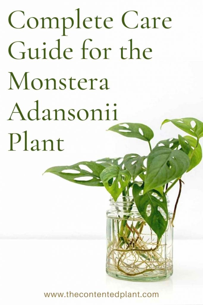 Complete care guide for the monstera adansonii plant-pin image