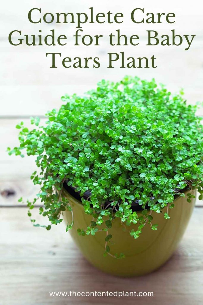 Complete care guide for the baby tears plant-pin image