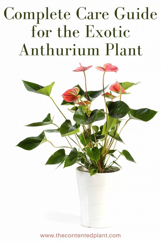 Complete care guide for the exotic anthurium plant-pin image
