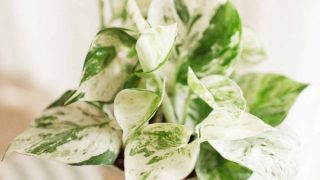 Pearls and Jade Pothos