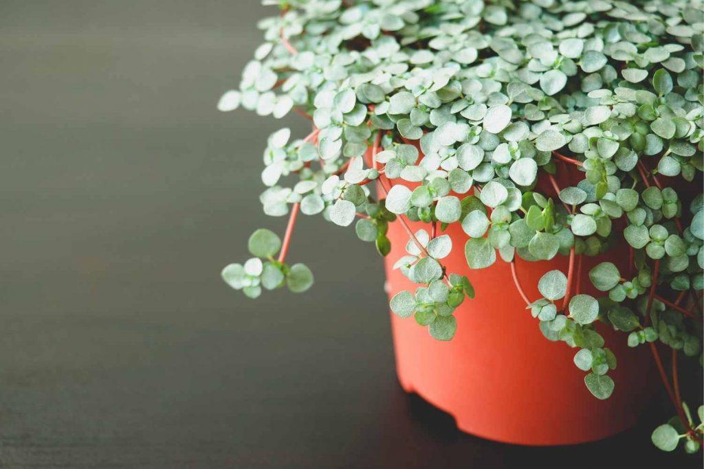Pilea glauca-baby tears plant