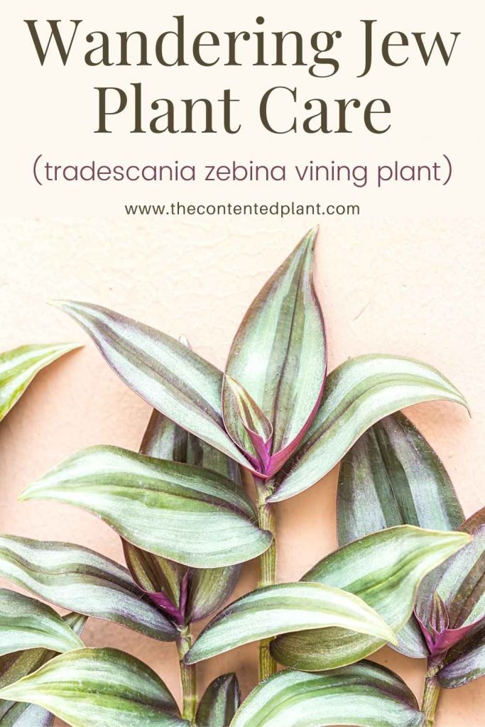 Wandering jew plant care-pin image