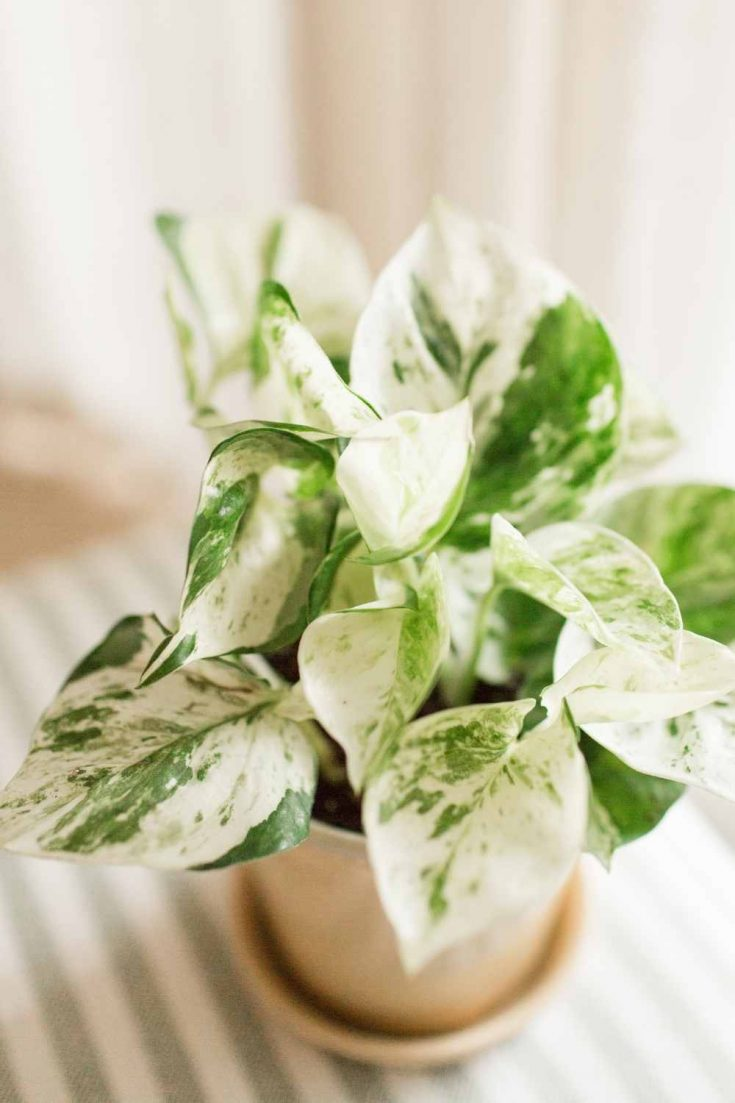 Pearls and Jade Pothos potted