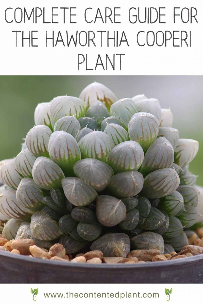 Complete care guide for the haworthia cooperi plant-pin image