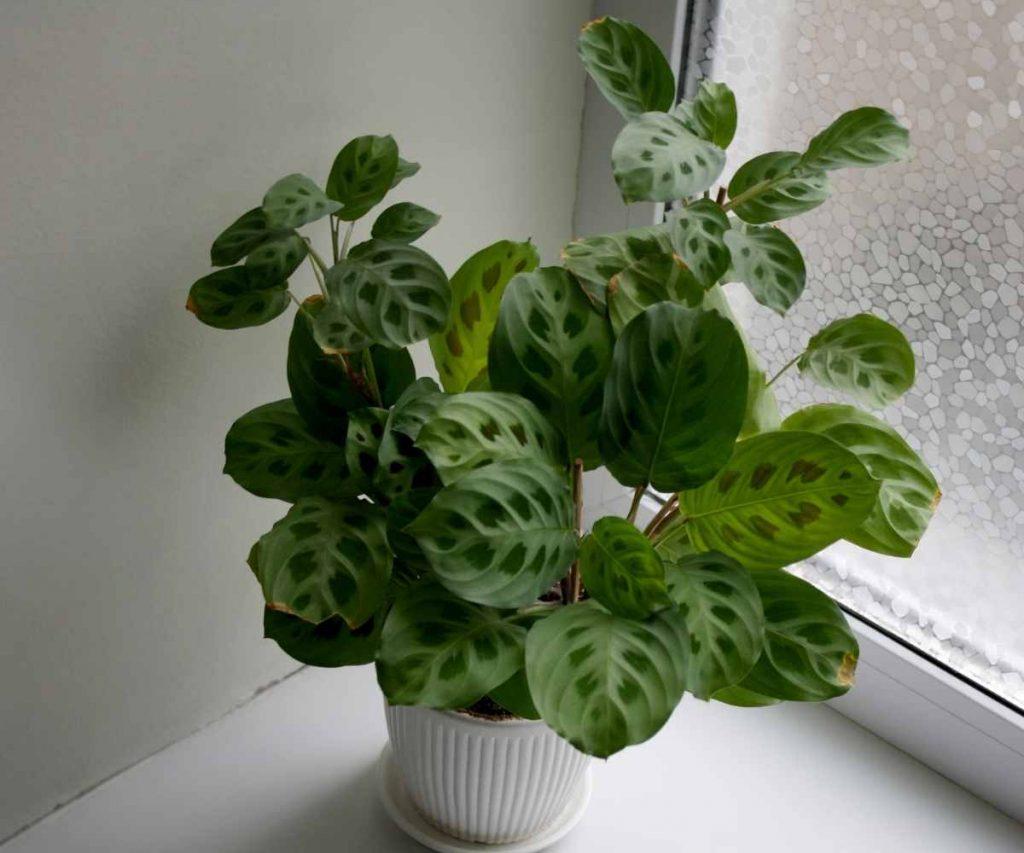 Maranta Kerchoveana Leuconeura Green Prayer Plant