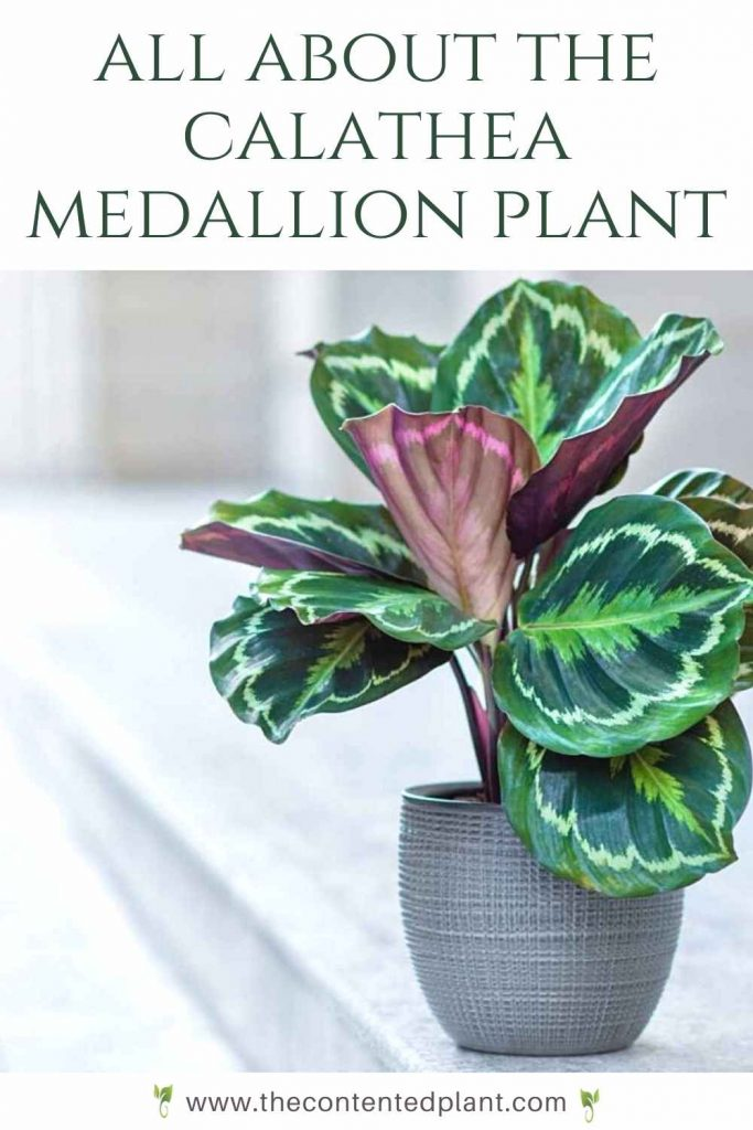 All about the calathea medallion plant-pin image