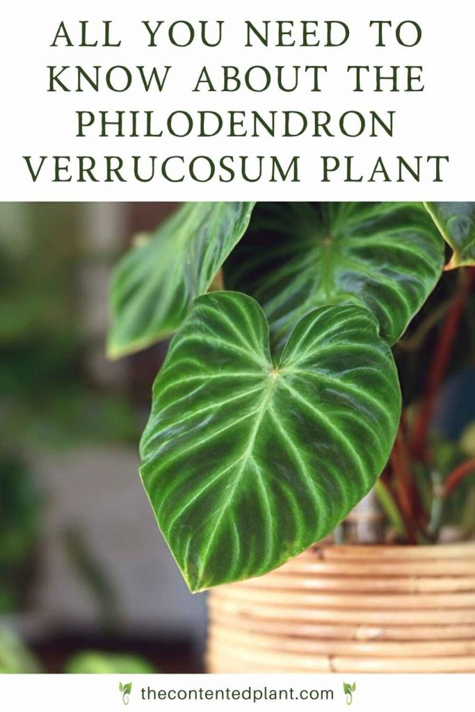 All you need to know about the philodendron verrucosum plant-pin image